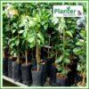 7 litre tall poly planter bag plant Growbag - Planter Bag Supplies NZ - for more info go to planterbags.co.nz